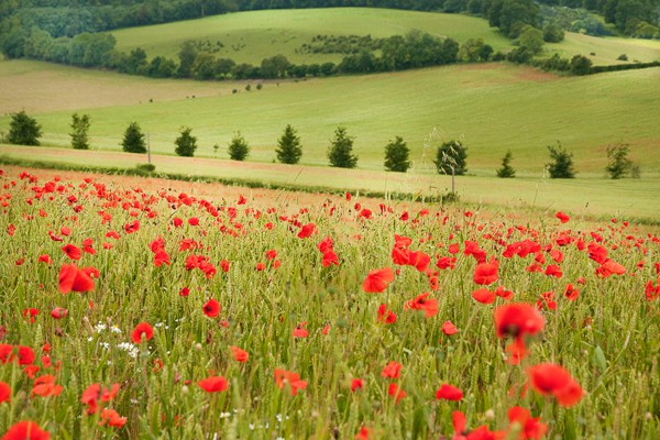 Poppies at Luddesdown